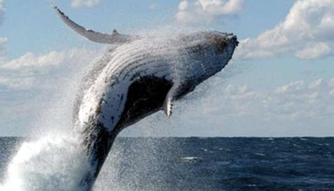 Sabias que ....La respiración de las Ballenas