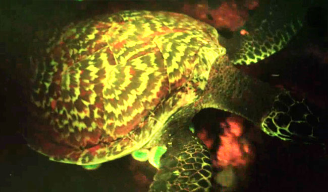 Descubren una tortuga que brilla en la oscuridad