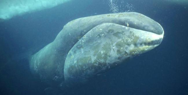 Sabías que las ballenas puede vivir cientos de años