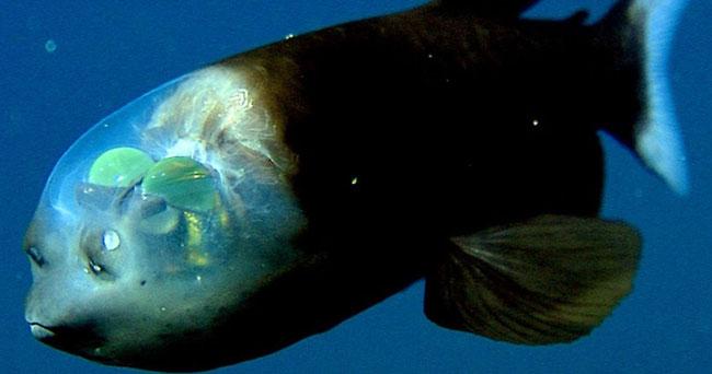 ¿Sabías que hay un pez con la cabeza transparente?