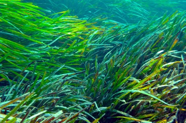 (Español) Beneficios de la posidonia oceánica