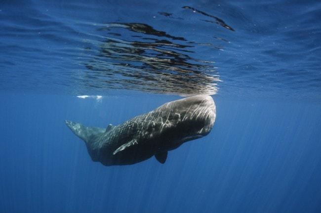 El cachalote, amenazado en Canarias